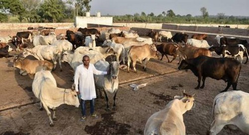 Image result for BJP stares at farmers' backlash in UP as cattle destroy crops