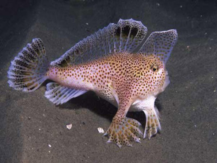 Walking fish found at the gound of sea for The walking fish