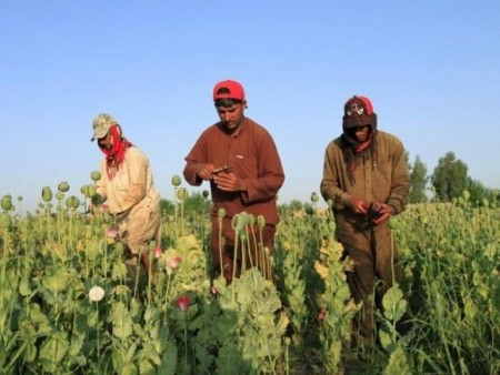 Record opium production in Afghanistan in 2017